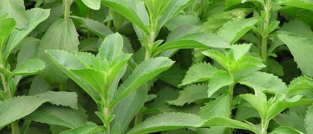 Stevia er nå tillatt i Norge