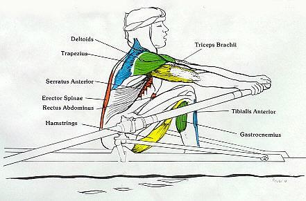 hvilke muskler trenes ved romaskin