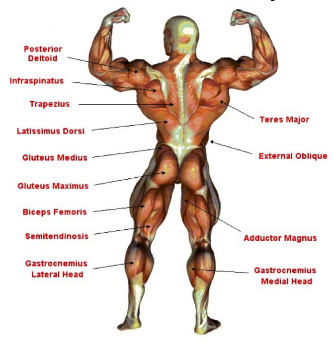stærkeste muskel i kroppen