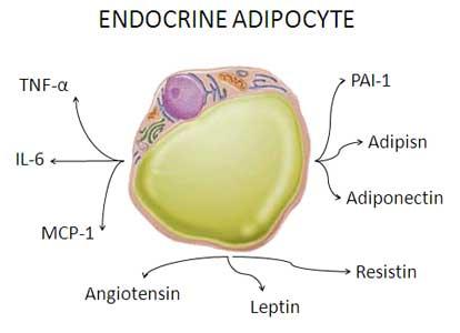 Fettcellene våre er et av kroppens største hormonorgan.