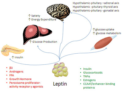 leptin and insulin relationship memes